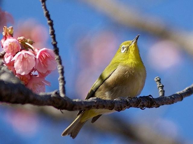 Pinson du Japon qui chante