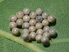 Shield Bug Eggs -Top