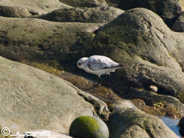 Correlimos tridáctilo (Calidris alba)