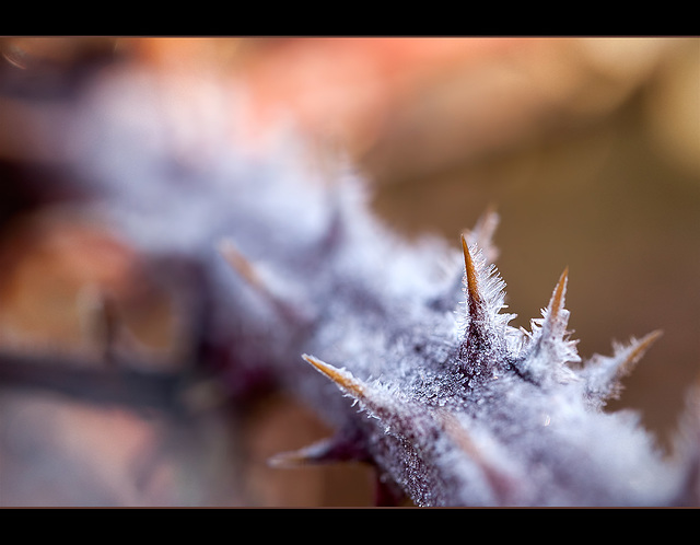 Frosted Thorns