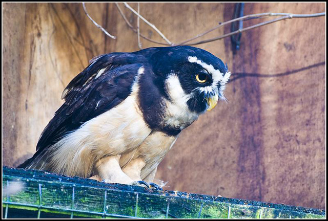 Spectacled Owl - Marwell Zoo TalkPhotography Meet