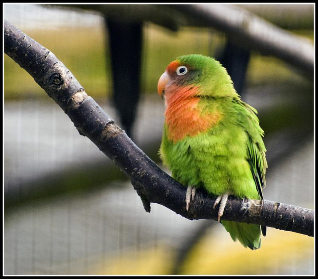 Peach Faced Lovebird Marwell Zoo Talkphotography Meet