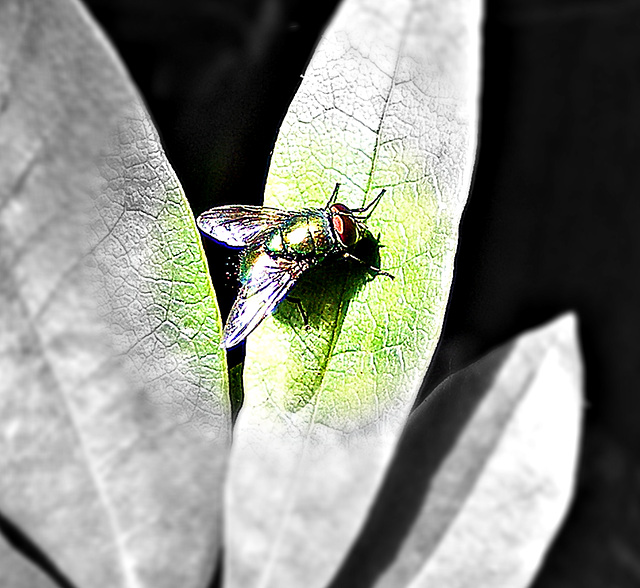 Fly with a green body