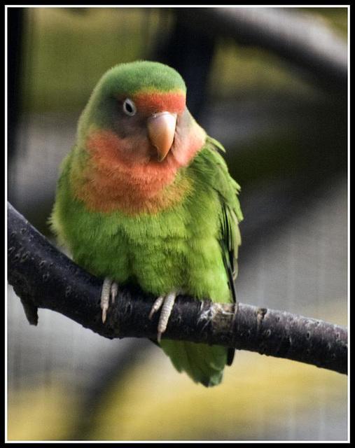 Peach Faced Lovebird Marwell Zoo Talkphotography Meet