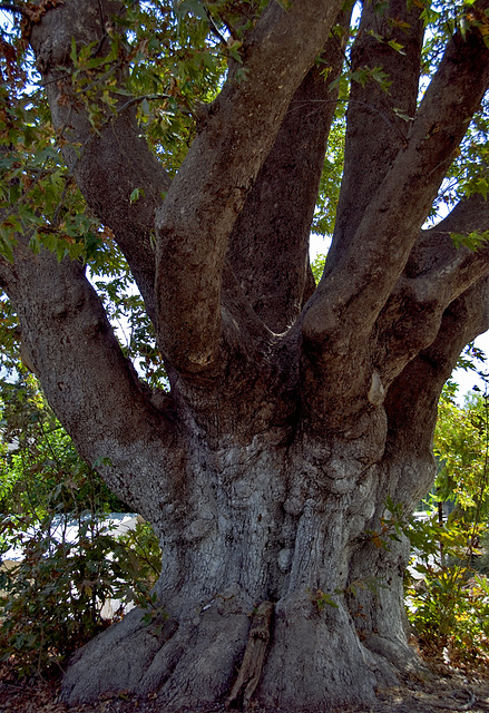 The big tree....