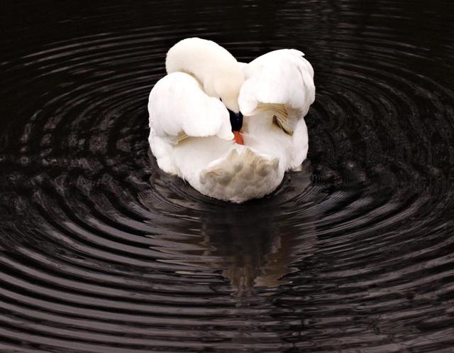 Mute Swan Hilsea
