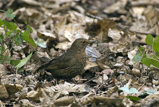 Blackbird Hilsea