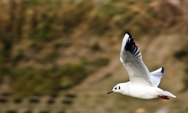 Seagull in flight Arundel