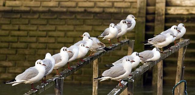 Seagulls Arundel