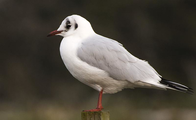 Seagull Arundel