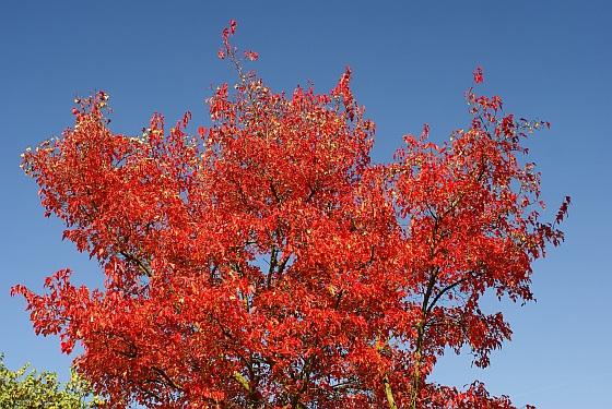 Rouge d'automne 1