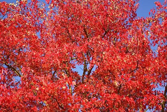 Rouge d'automne 1b