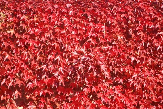 Rouge d'automne 2