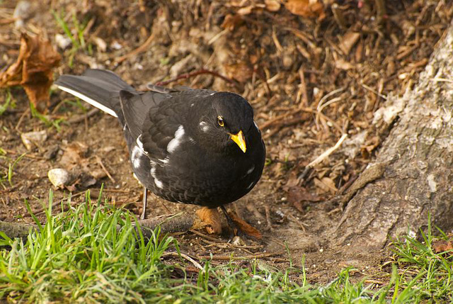 Piebald Blackbird Arundel