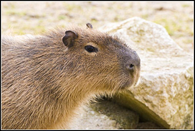 Capybara Marwell Zoo Talkphotography Meet