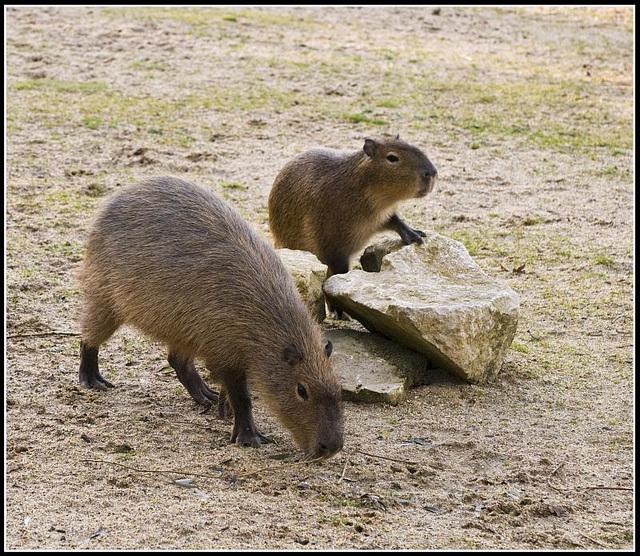 Capybara Marwell Zoo Talkphotography Meet