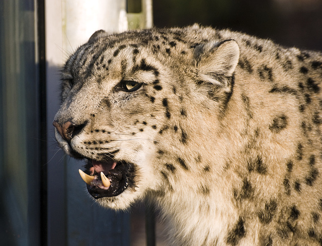 Snow Leopard Marwell Zoo Talkphotography Meet