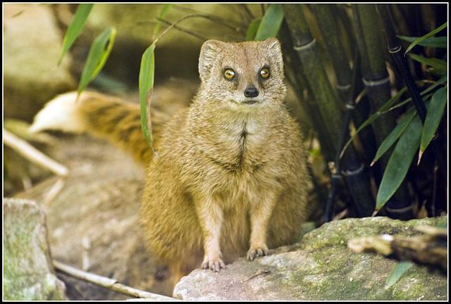 Meercat (?) Marwell Zoo Talkphotography Meet