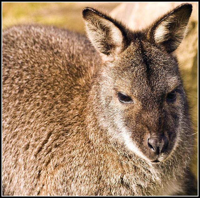Wallaby Marwell Zoo Talkphotography Meet