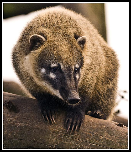 Ring-Tailed Coati Marwell Zoo Talkphotography Meet