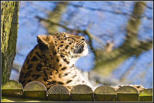 Leopard Marwell Zoo Talkphotography Meet