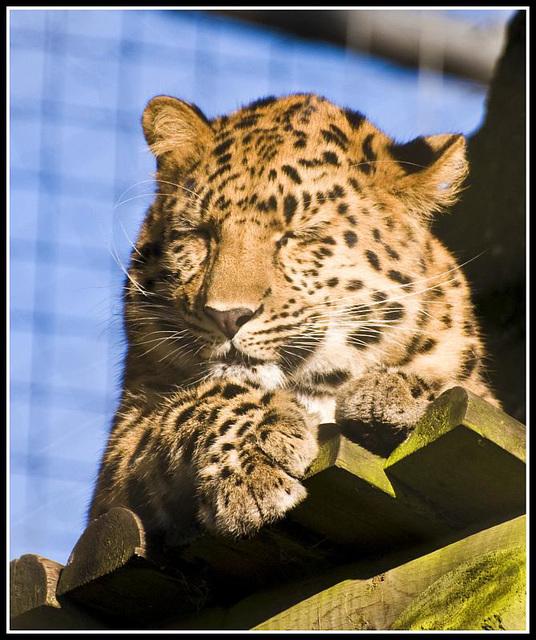 Leopard Marwell Zoo Talkphotography Meet