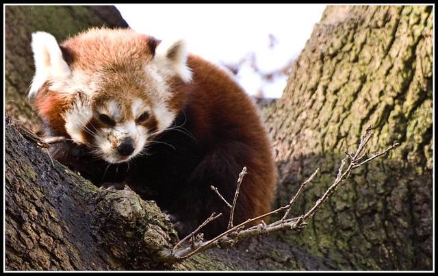 Red Panda Marwell Zoo Talkphotography Meet