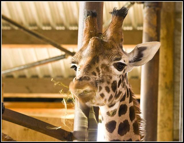 Giraffe Marwell Zoo Talkphotography Meet