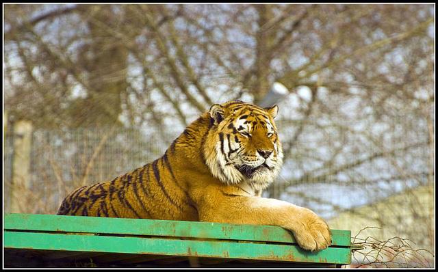 Tiger Marwell Zoo Talkphotography Meet