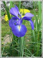 Iris xyphioides (latifolia)