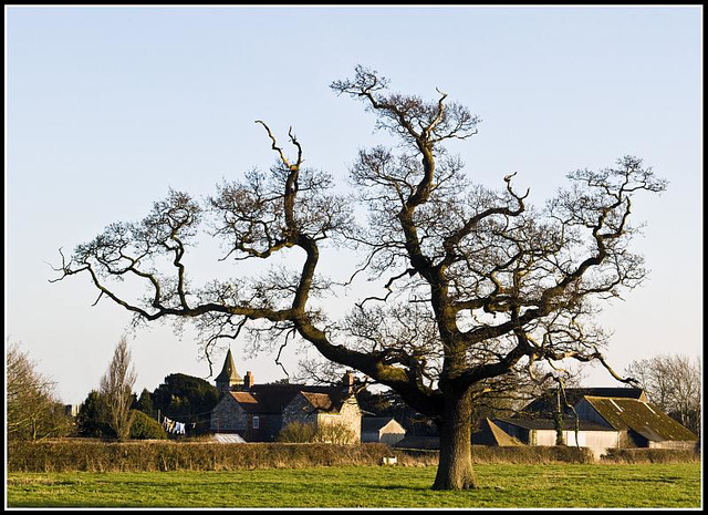 Warblington - Solitary Tree with Farm Buildings in background