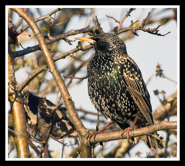 Starling in Warblington Cemetry