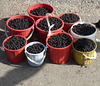 Buckets of Blackberries