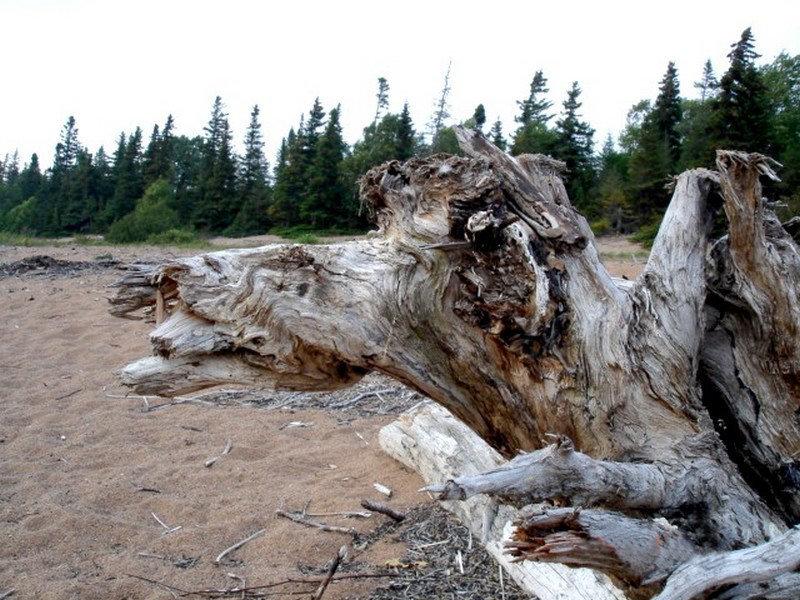 Camel trunk / Tronc chameau - Deer Lake, Terre-Neuve / Newfoundland. CANADA - Septembre 2005