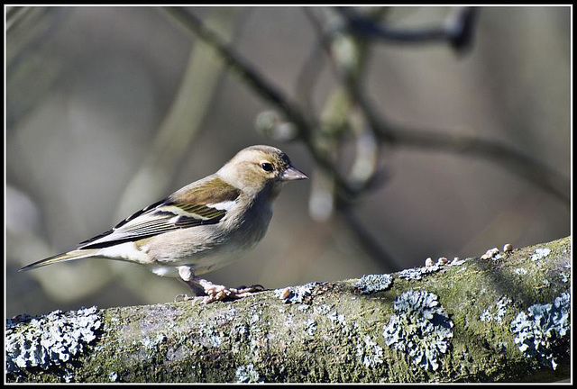 WhitewaysLodge - Chaffinch (Female)