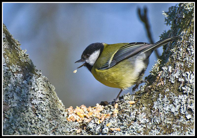 WhitewaysLodge - Great Tit