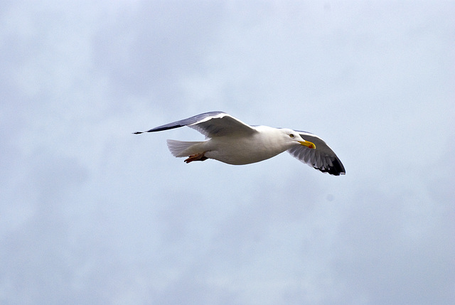 Seagull in flight Worthing