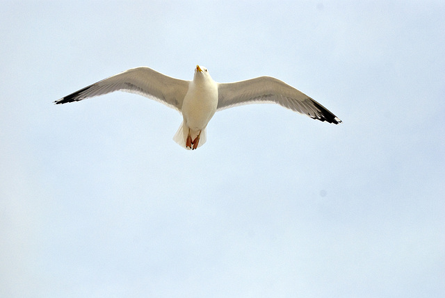 Seagull in flight Worthing