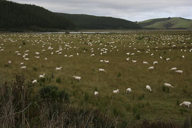 Vermutlich haben dies Kiwis das Schafezäheln erfunden