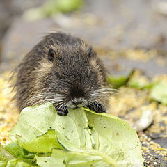 Kleines Nutria mit Salatblatt (Wildlife)