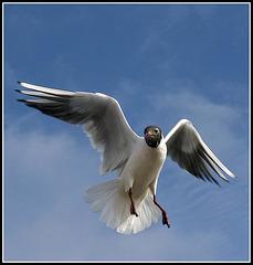 DSC_1605_50mm_Gulls