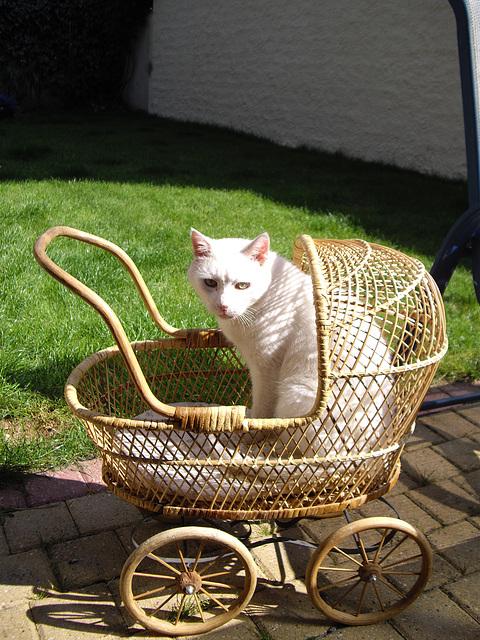 chat blanc dans le landau