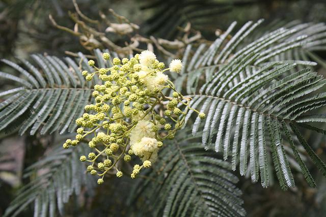 eine Mimosenart blüht