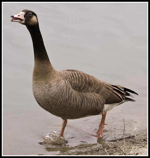 Grumpy Bean Goose