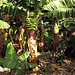 IMG 0277 Bananenstaude mit Blüte