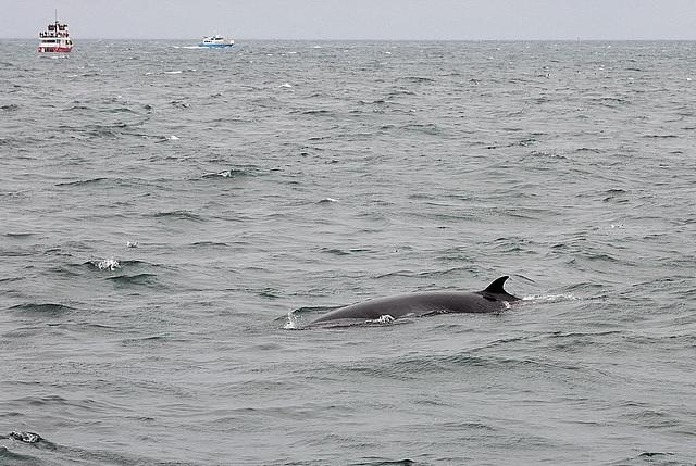 Minke whale shows its backside