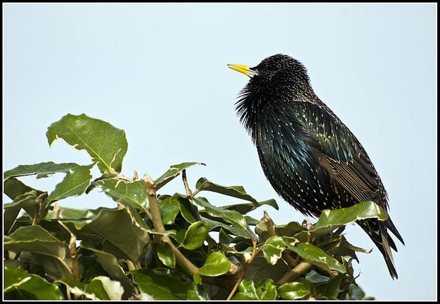Starling at Littlehampton Harbour