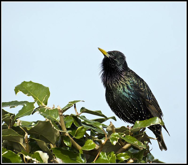 Starling at Littlehampton Harbour