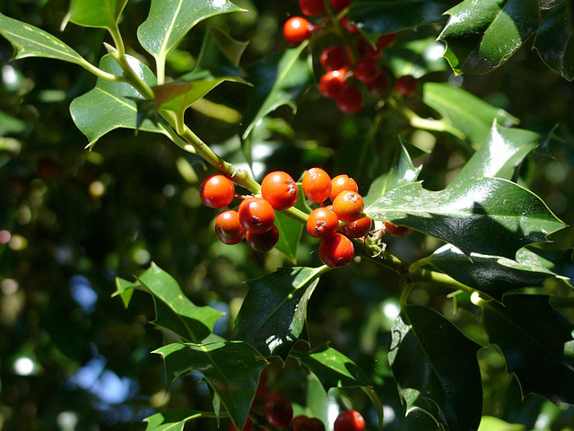 Holly berries 1