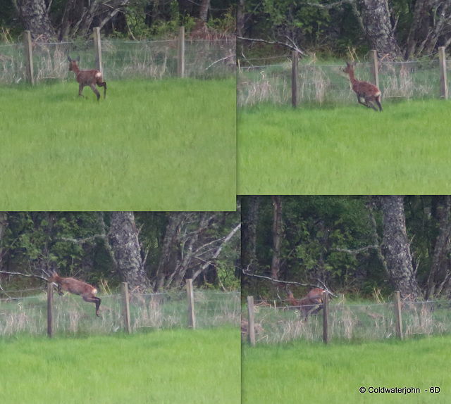 Roe Deer Clearing the Fence